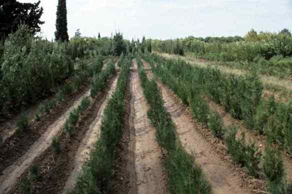 cultivosforestales